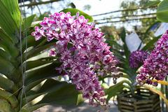 Rzadka gatunku azjata orchidea Obraz Royalty Free