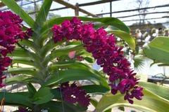 Rzadka gatunku azjata orchidea Fotografia Royalty Free