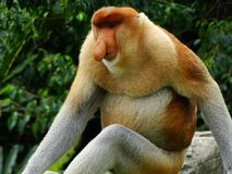 Rzadka trąbiasta małpa w mangrowe Labuk zatoka obrazy stock