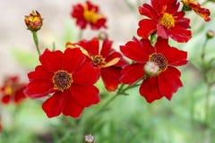 Rzadka wersja piękni kwiaty Tagetes nagietki r wzdłuż ścieżki dom Poczęcie ogrodnictwo i dom zdjęcie stock