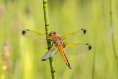 Rzadki łowcy dragonfly zdjęcia royalty free