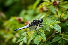 Rzadki łowcy dragonfly obraz royalty free
