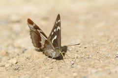 Rzadki żeński Purpurowego cesarza motyla Apatura irys umieszczał na ziemi bada sondą dla kopalin Zdjęcia Royalty Free
