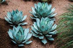 Rzadki agawy parryi var.hauchuceninsis Zdjęcie Royalty Free