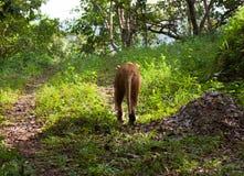 Rzadki Asiatic lew, Kerala, India Zdjęcia Stock