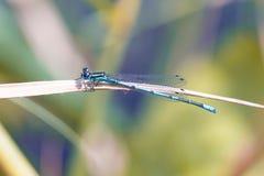 Rzadki błękitny ogoniasty damselfly fotografia stock