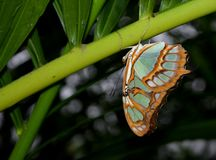 Rzadki Bambusowy strona motyl na gałąź Zdjęcia Stock