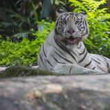 Rzadki Czarny I Biały Pasiasty Dorosły tygrys Obraz Stock