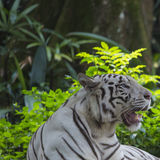 Rzadki Czarny I Biały Pasiasty Dorosły tygrys Zdjęcia Stock