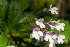 Rzadki Haberlea rhodopensis zdjęcie stock