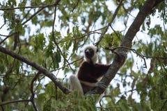 Rzadki lemur Koronował Sifaka, Propithecus Coquerel, ogląda od drzewny niedalekiego, Ankarafantsika rezerwa, Madagascar Zdjęcia Royalty Free