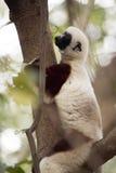 Rzadki lemur Koronował Sifaka, Propithecus Coquerel, ogląda od drzewny niedalekiego, Ankarafantsika rezerwa, Madagascar Zdjęcia Stock
