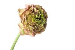 Rzadki Perski jaskieru kwiat Zdjęcie Stock