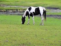 Rzadki przyglądający czarny i biały farba koń w polu obrazy royalty free