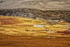 Rzadki ptak migrujący w Tso mąci obraz royalty free