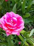 Rzadki różowy tulipan w Keukenhof Zdjęcia Stock