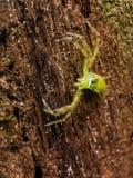 Rzadki spcious pająk z szerokimi oczami obraz royalty free