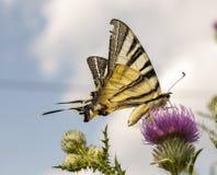 rzadki swallowtail zdjęcia royalty free