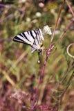 Rzadki swallowtail Iphiclides podalirius obsiadanie na białym kwiacie, żółta trawa fotografia stock