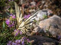Rzadki swallowtail karmienie na tymiankowych okwitnięciach obraz royalty free