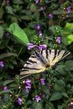 Rzadki swallowtail motyl na Lamium purpur kwiacie zdjęcie royalty free