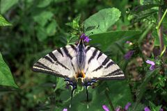 Rzadki swallowtail motyl na Lamium purpur kwiacie obraz royalty free