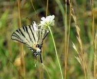 Rzadki Swallowtail - motyl Pije nektar obraz royalty free