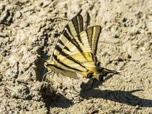 Rzadki swallowtail motyl w gęstym błocie obraz stock