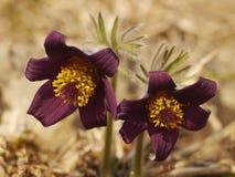 Rzadki wiosna kwiatu Pulsatilla obraz stock