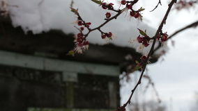 Rzadki zjawisko Śnieg w wiośnie Rozgałęzia się Kwitnie jabłoń na którym kłama śnieg Śnieg na kwiatach klimat zdjęcie wideo