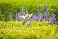 Rzadkiego swallowtail Iphiclides podalirius motyli motyl na purpurowych lawendowych kwiatach zdjęcie stock