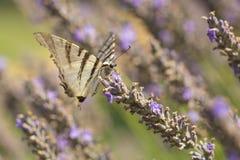 Rzadkiego swallowtail Iphiclides podalirius motyli motyl o obraz stock