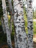 Rzeźbiący brzoza Drzewni bagażniki Zdjęcia Stock
