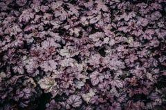 Rzeźbiący ciemni liście Heuchera Purpurowy ulistnienia tło, zmrok tonować rośliny obrazy royalty free