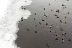 Rzeczna Mallard kaczka na kanale Obrazy Royalty Free
