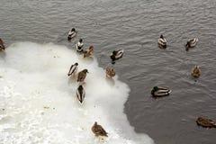 Rzeczna Mallard kaczka na kanale Obraz Stock