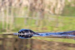 Rzeczna wydra Pływa Z lewej strony Obrazy Stock