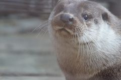 Rzeczna wydra przy Yekaterinburg zoo fotografia royalty free