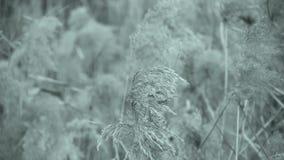 Rzeczne płochy w wiatrze, potrząsalny pustkowie, Czarny i biały styl zdjęcie wideo