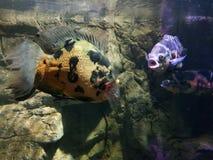 Rzeczne ryba Fotografia Royalty Free