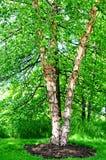Rzecznej brzozy drzewo Obraz Royalty Free