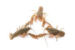 Rzeczni surowi crayfishes obrazy royalty free