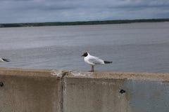 Rzeczny seagull na molu fotografia stock