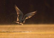 Rzeczny Tern Fotografia Royalty Free