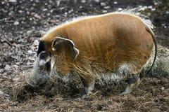 rzeka czerwona świnię na widok Obraz Royalty Free