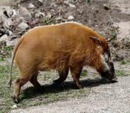 rzeka czerwona świnię na widok Fotografia Royalty Free