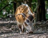 rzeka czerwona świnię na widok obraz stock
