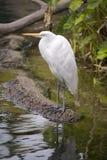 rzeka siedząc skraju ptasiej white Obrazy Stock