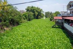 Rzeka wypełniał z świeżym zielonym wodnym hiacyntem z luksusowymi drzewami obok zdjęcie royalty free