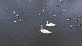Rzeka z pięknymi białymi łabędź i kaczkami w wodnym łasowaniu chleb zbiory wideo